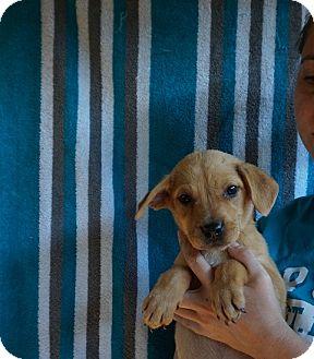 Labrador Retriever/Golden Retriever Mix Puppy for adoption in Oviedo, Florida - Dakota