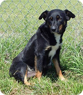 Australian Shepherd Mix Dog for adoption in Terrell, Texas - Coral