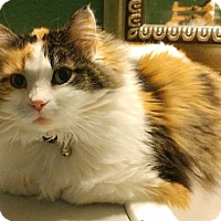 Calico Cat for adoption in Denver, Colorado - Jaycee