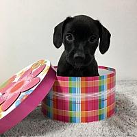 Adopt A Pet :: Cuprite - Joliet, IL