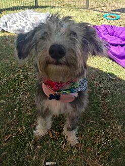 Miniature Schnauzer/Dachshund Mix Puppy for adoption in Long Beach, California - Liliana