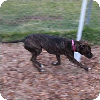 Boxer/Greyhound Mix Dog for adoption in San Clemente, California - KAHLUA