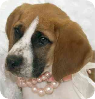 Hound (Unknown Type) Mix Puppy for adoption in Wake Forest, North Carolina - Annabelle