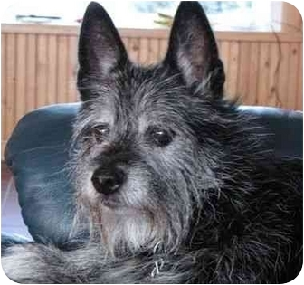 Scotty Adopted Dog Glenwood Mn Scottie Scottish Terrier Westie West Highland White