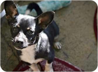 Corgi/Dachshund Mix Puppy for adoption in Los Angeles, California - Duncan