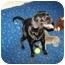Photo 1 - Pug/Labrador Retriever Mix Dog for adoption in Antioch, Illinois - Bella HAPPY AND FUN!