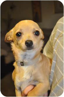 Chihuahua Mix Puppy for adoption in Tumwater, Washington - J.LO