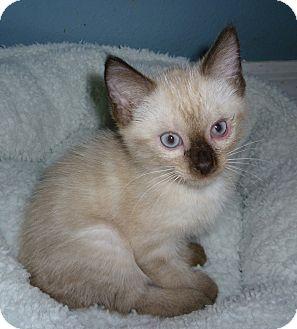 Siamese Kitten for adoption in Tampa, Florida - Cosmo