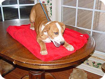 Labrador Retriever/Terrier (Unknown Type, Medium) Mix Puppy for adoption in East Hartford, Connecticut - dancer in ct