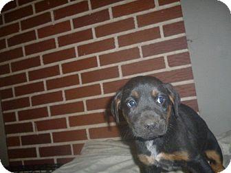 Shepherd (Unknown Type)/Hound (Unknown Type) Mix Puppy for adoption in Birmingham, Alabama - Striker