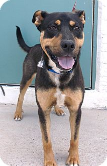 Rottweiler/German Shepherd Dog Mix Dog for adoption in Chino Valley, Arizona - Russell