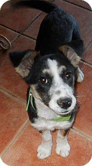 Australian Shepherd/Australian Cattle Dog Mix Puppy for adoption in dewey, Arizona - Cookie