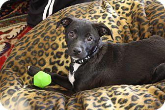 Labrador Retriever/Basenji Mix Puppy for adoption in Homewood, Alabama - Tucker