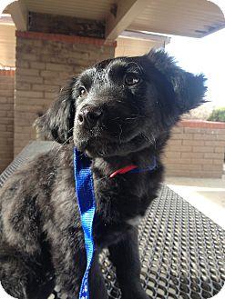 Australian Shepherd/Bernese Mountain Dog Mix Puppy for adoption in Westminster, Colorado - Noche