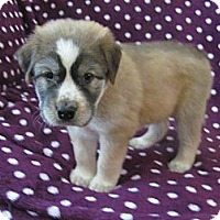 Adopt A Pet :: Bison - Cathedral City, CA