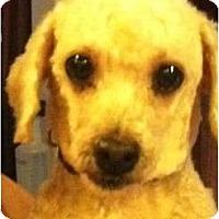 Adopt A Pet :: Sweetie - Ooltewah, TN