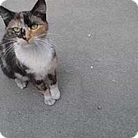 Calico Cat for adoption in San Dimas, California - Pebbles