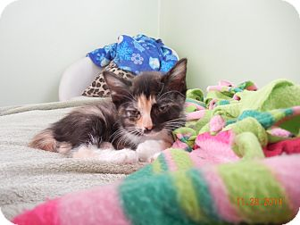 Domestic Shorthair Kitten for adoption in Southington, Connecticut - Pippa