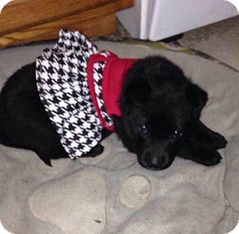 Shepherd (Unknown Type)/Labrador Retriever Mix Puppy for adoption in Livonia, Michigan - Lucy