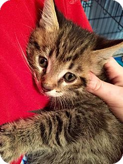American Bobtail Kitten for adoption in Wilmore, Kentucky - Ferb
