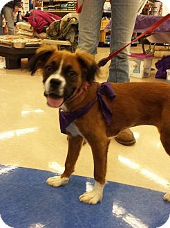 Boxer Mix Puppy for adoption in Manhattan, Kansas - Penelope