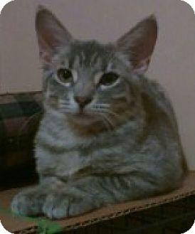 Domestic Shorthair Kitten for adoption in McHenry, Illinois - Tinker Bell