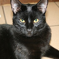 American Shorthair Cat for adoption in Naples, Florida - Seal