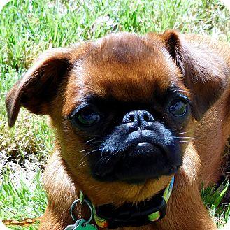 Brussels Griffon Dog for adoption in Seymour, Missouri - JILL - ADOPTION PENDING