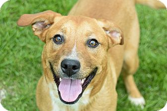 Shepherd (Unknown Type) Mix Dog for adoption in Pilot Point, Texas - BARLEY