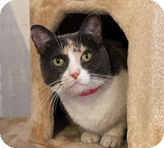 Calico Cat for adoption in Los Angeles, California - Moxie