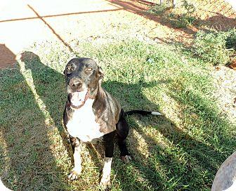 Great Dane/Greyhound Mix Dog for adoption in Denver City, Texas - Zane