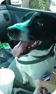 Rat Terrier/Border Collie Mix Dog for adoption in Russellville, Kentucky - Max