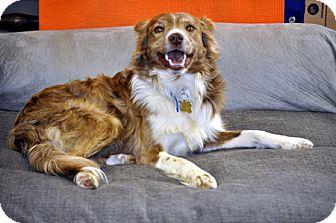 Border Collie/Australian Cattle Dog Mix Dog for adoption in Woodburn, Oregon - Luke