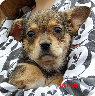 Corgi/Feist Mix Puppy for adoption in West Sand Lake, New York - Raven (4 lb) Video!