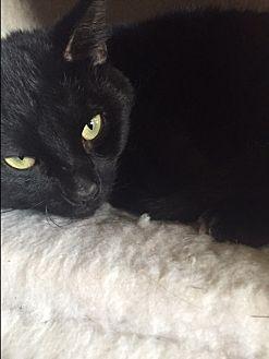 Domestic Shorthair Cat for adoption in Elyria, Ohio - Cheeks