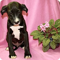 Adopt A Pet :: Nestle - Salem, NH