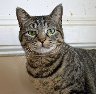 Domestic Shorthair Cat for adoption in Middletown, New York - Catsy Cline