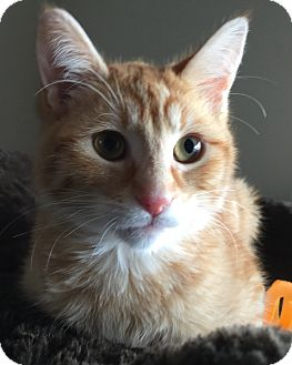 Domestic Mediumhair Kitten for adoption in Meridian, Idaho - OJ (The Juice)