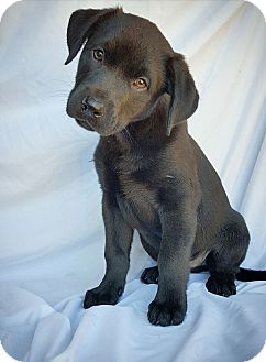 Labrador Retriever Mix Puppy for adoption in Fredericksburg, Texas - Dodge
