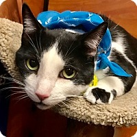 Domestic Shorthair Cat for adoption in Long Beach, New York - Yang
