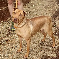 Vizsla/Shar Pei Mix Dog for adoption in Rochester, New York - Millie