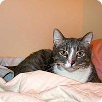 Domestic Shorthair Cat for adoption in Arlington, Virginia - Charlie