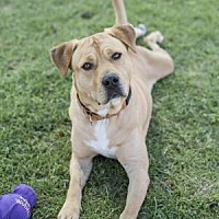 Adopt A Pet :: Chairman - Palm Springs, CA