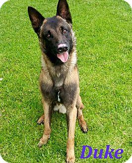 Belgian Malinois Dog for adoption in El Cajon, California - Duke