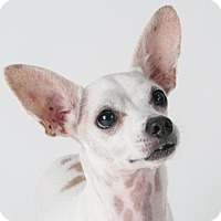Chihuahua Mix Dog for adoption in San Francisco, California - Jimi