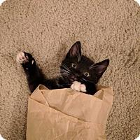 Adopt A Pet :: Gurgie - Scottsdale, AZ