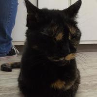 Adopt A Pet :: Shelley - Orleans, VT