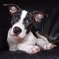 Adopt A Pet :: Che - Sudbury, MA
