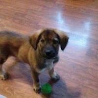 German Shepherd Dog Mix Dog for adoption in Fairfax Station, Virginia - Sadie