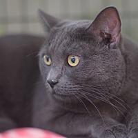 Adopt A Pet :: Boris - Brooklyn, NY